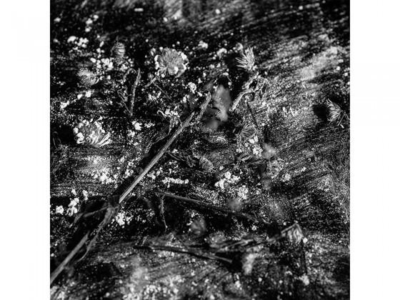 Aster Novi belgii AA (2013), Piezografía de carbón sobre papel de algodón, 50 x 50 cms