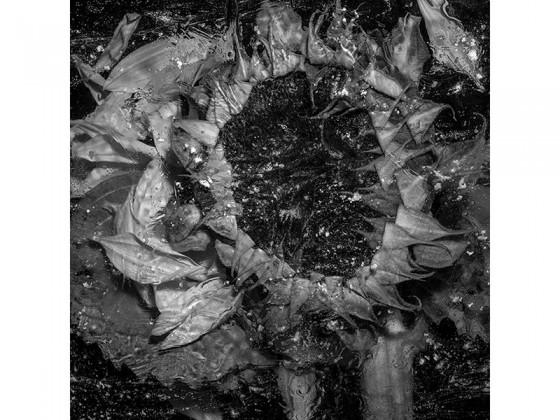 Helianthus Annuus AB (2013), Piezografía de carbón sobre papel de algodón, 50 x 50 cms