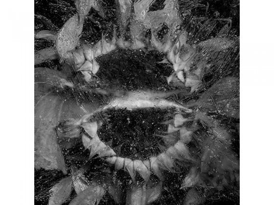 Helianthus Annuus TG (2013), Piezografía de carbón sobre papel de algodón, 50 x 50 cms