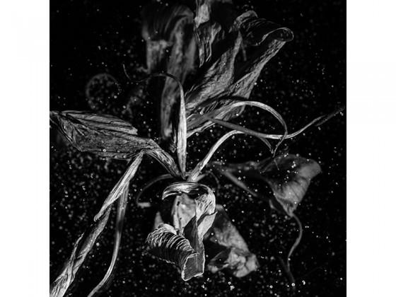 Lilium Spp AA (2013), Piezografía de carbón sobre papel de algodón, 50 x 50 cms