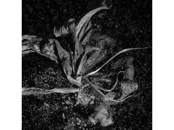 Lilium Spp CC (2013), Piezografía de carbón sobre papel de algodón, 50 x 50 cms